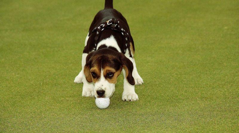 Hunde elsker at komme med på golfbanen